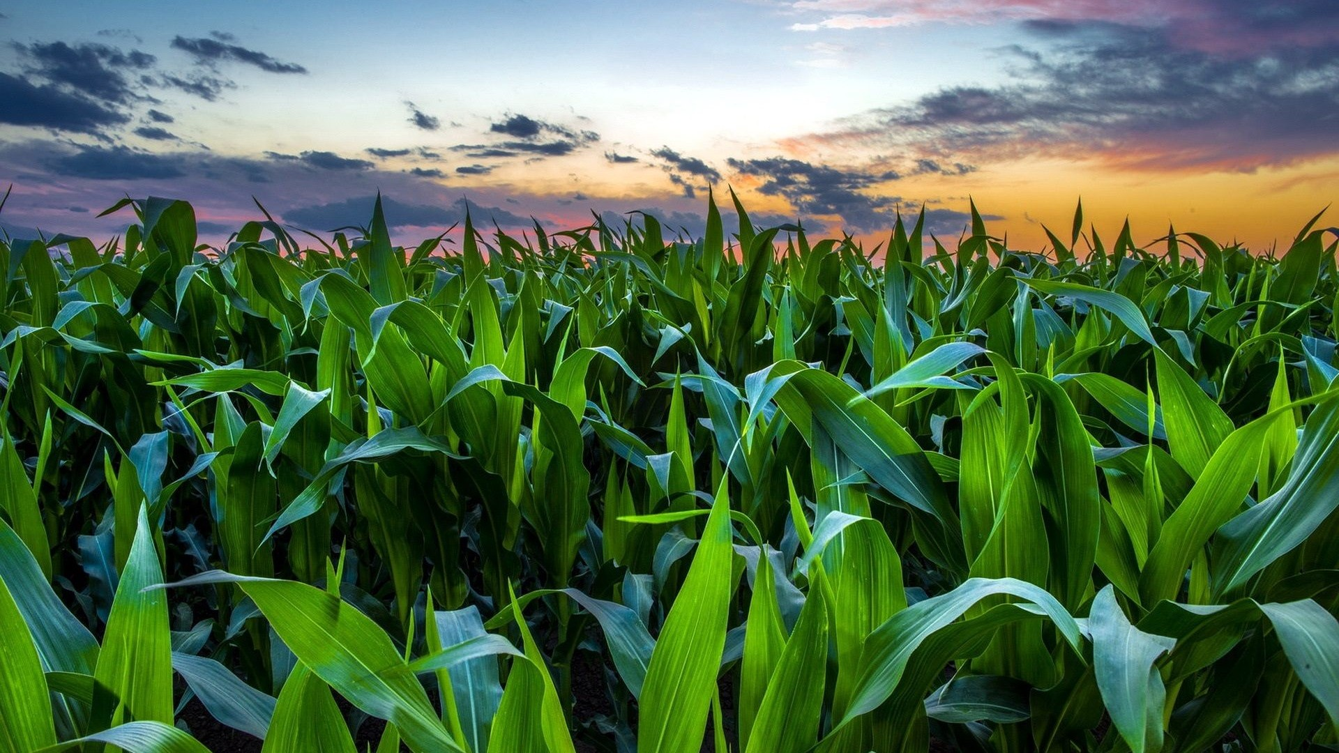 Corn Field Full HD Wallpaper and Background Image ...