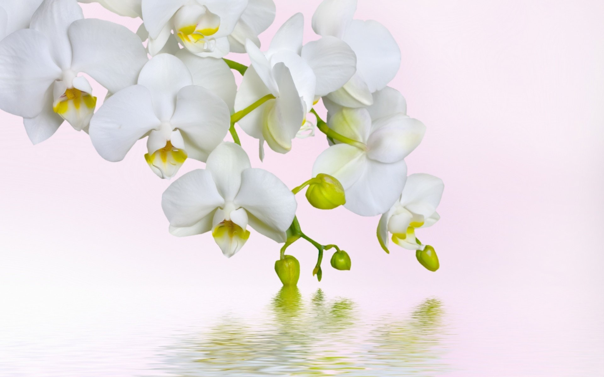 white orchids full hd wallpaper and hintergrund. Black Bedroom Furniture Sets. Home Design Ideas
