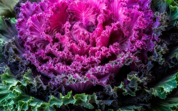 Food Cabbage Kale Purple Colorful Vegetable HD Wallpaper   Background Image
