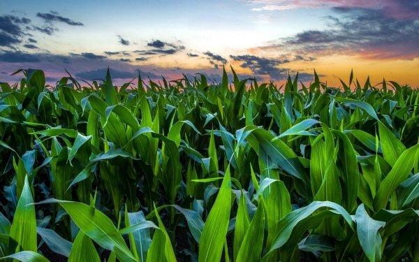 Earth Field Corn Leaf Green HD Wallpaper | Background Image