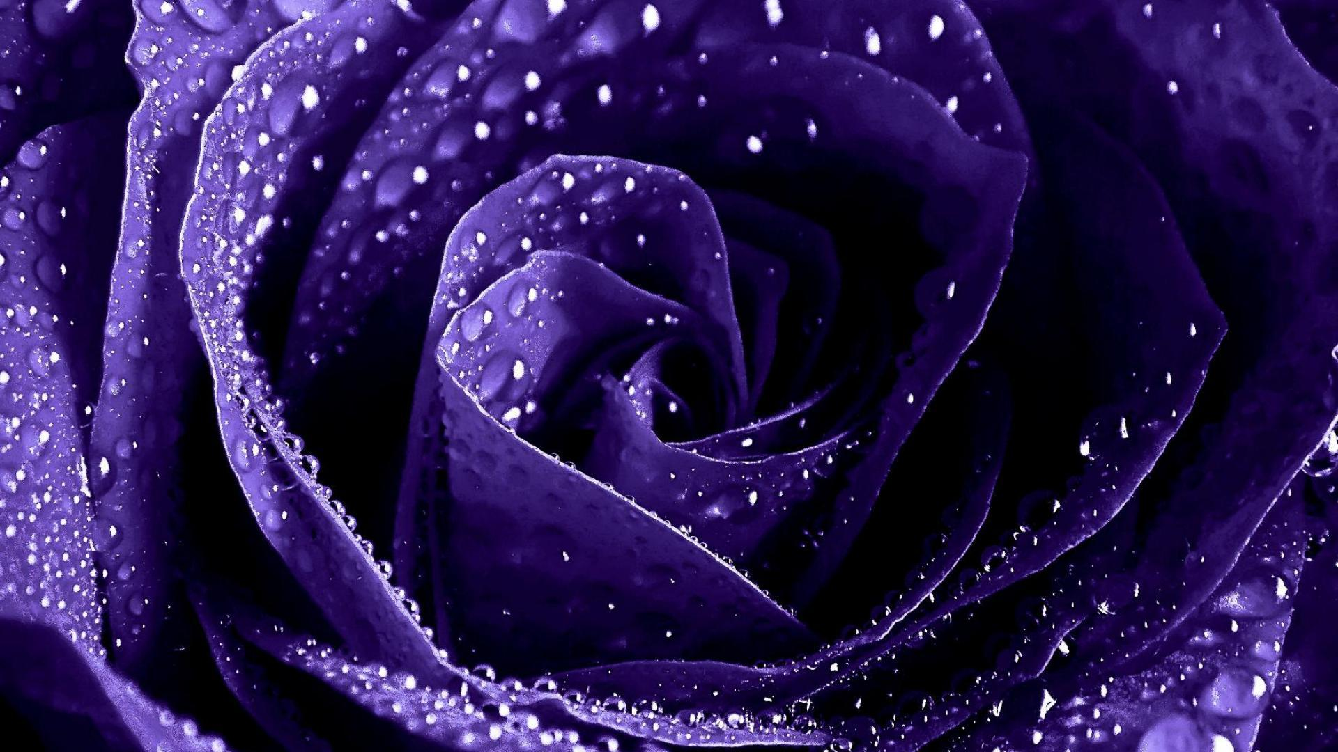 Purple Rose Hd Wallpaper Background Image 1920x1080 Id 694820 Wallpaper Abyss