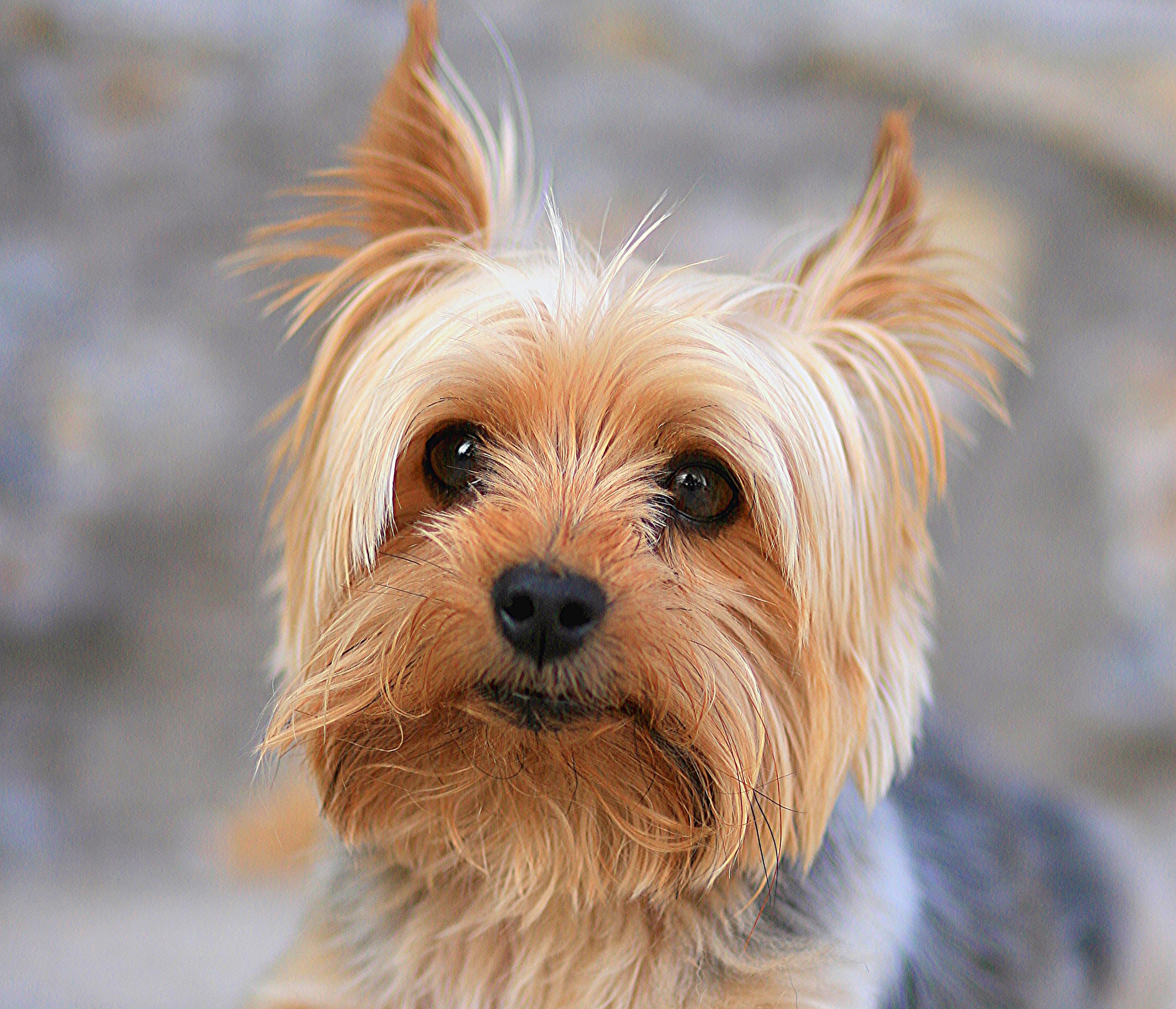 16 Yorkshire Terrier Papéis De Parede HD