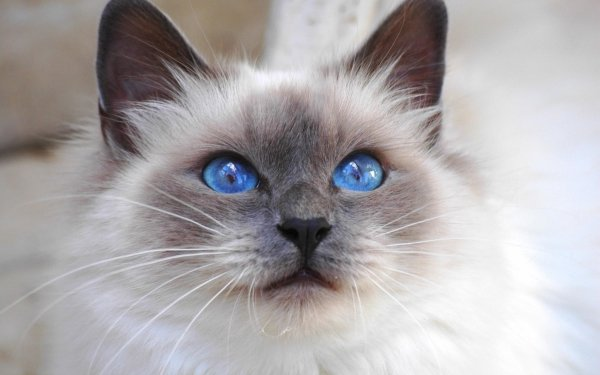 Animal Cat Cats Face Eye Blue Eyes Gray Fluffy HD Wallpaper | Background Image