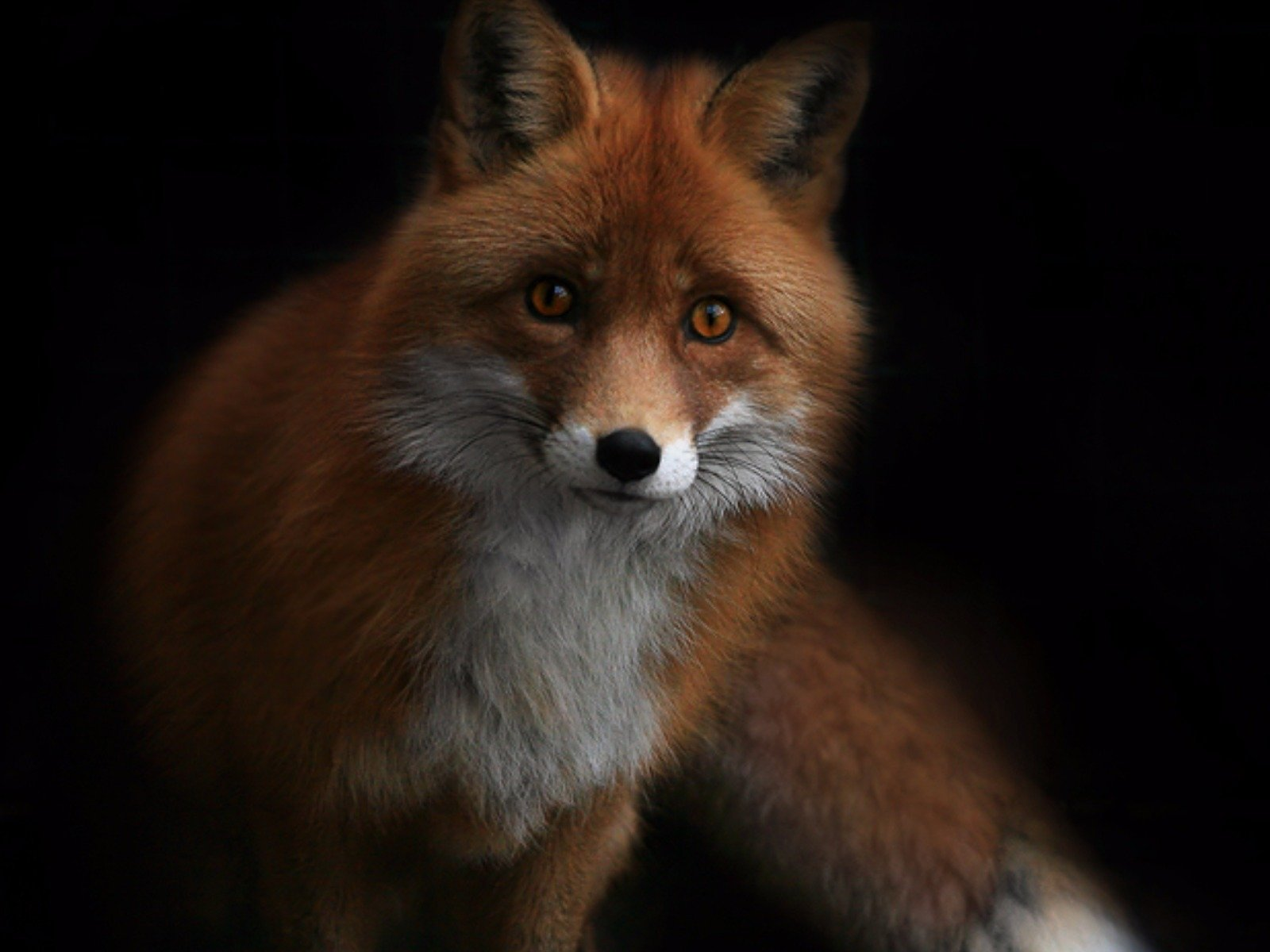 fox wallpaper and background image 1600x1200 id699008