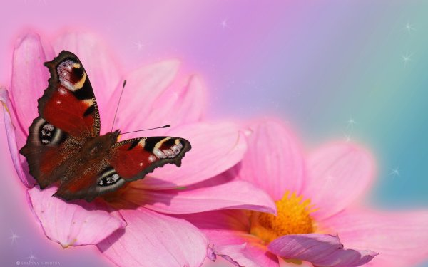 Animal Butterfly Flower Dahlia Pink Red HD Wallpaper | Background Image