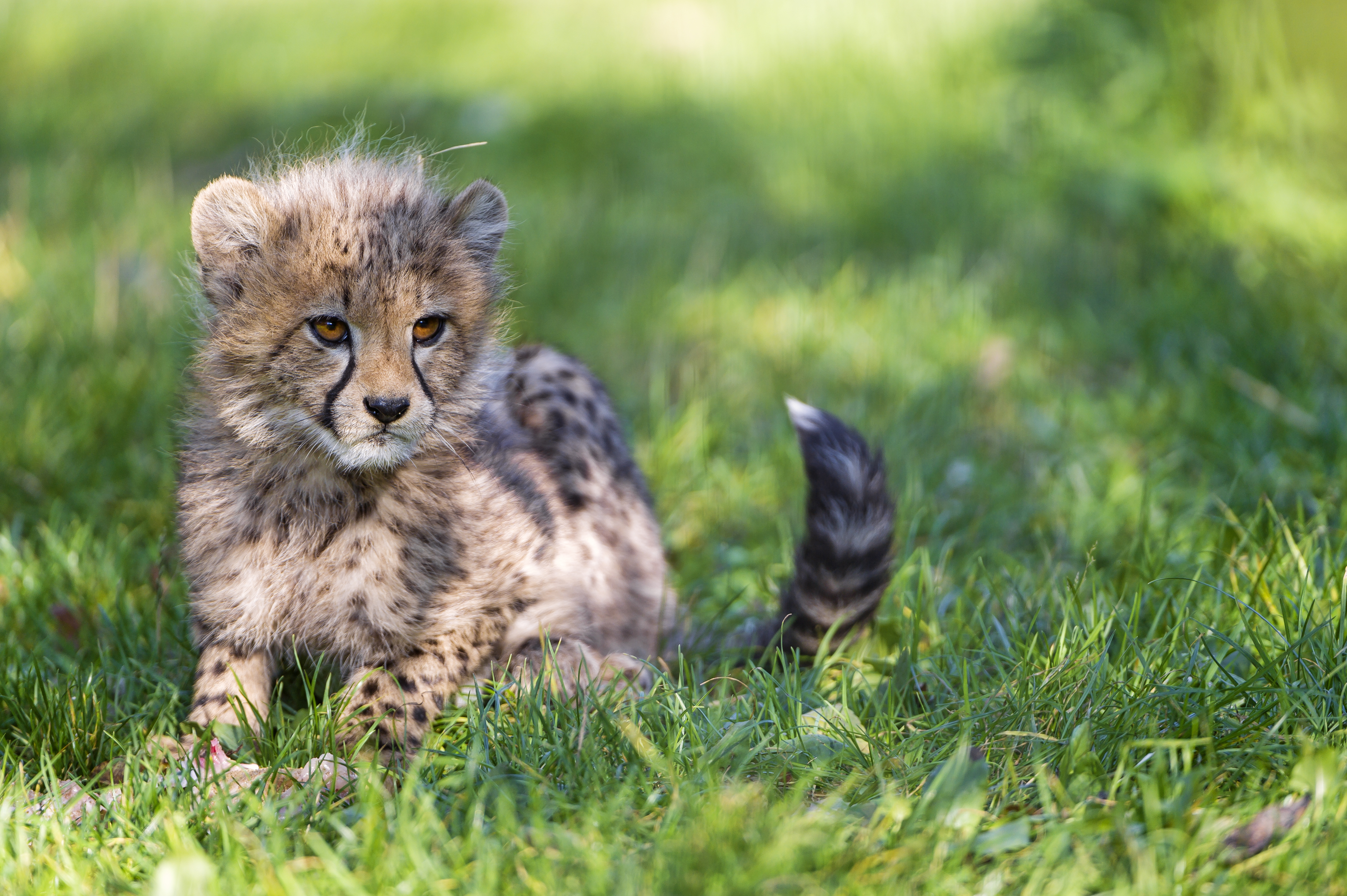 Baby Cheetah 4k Ultra HD Wallpaper | Background Image ...