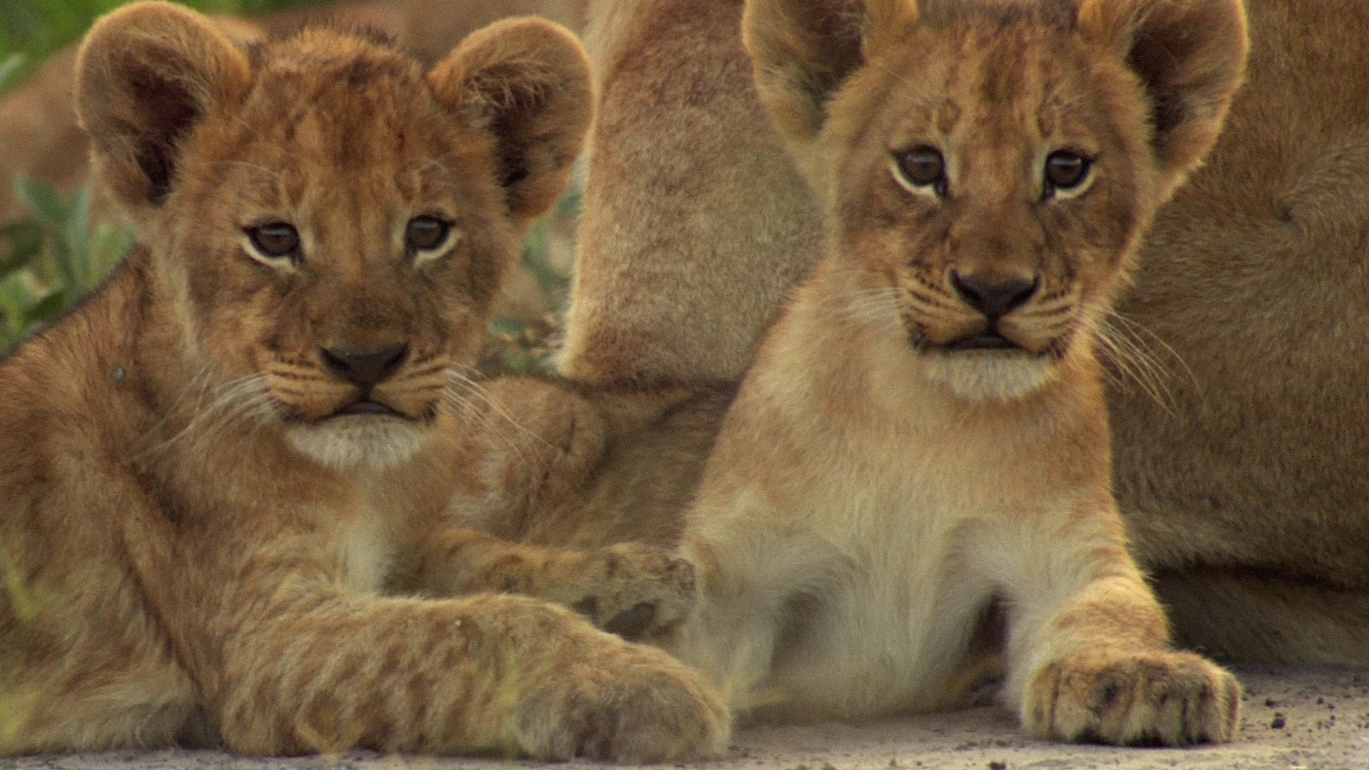 Two Cute Lion Cubs Hd Wallpaper Background Image 1920x1080 Id