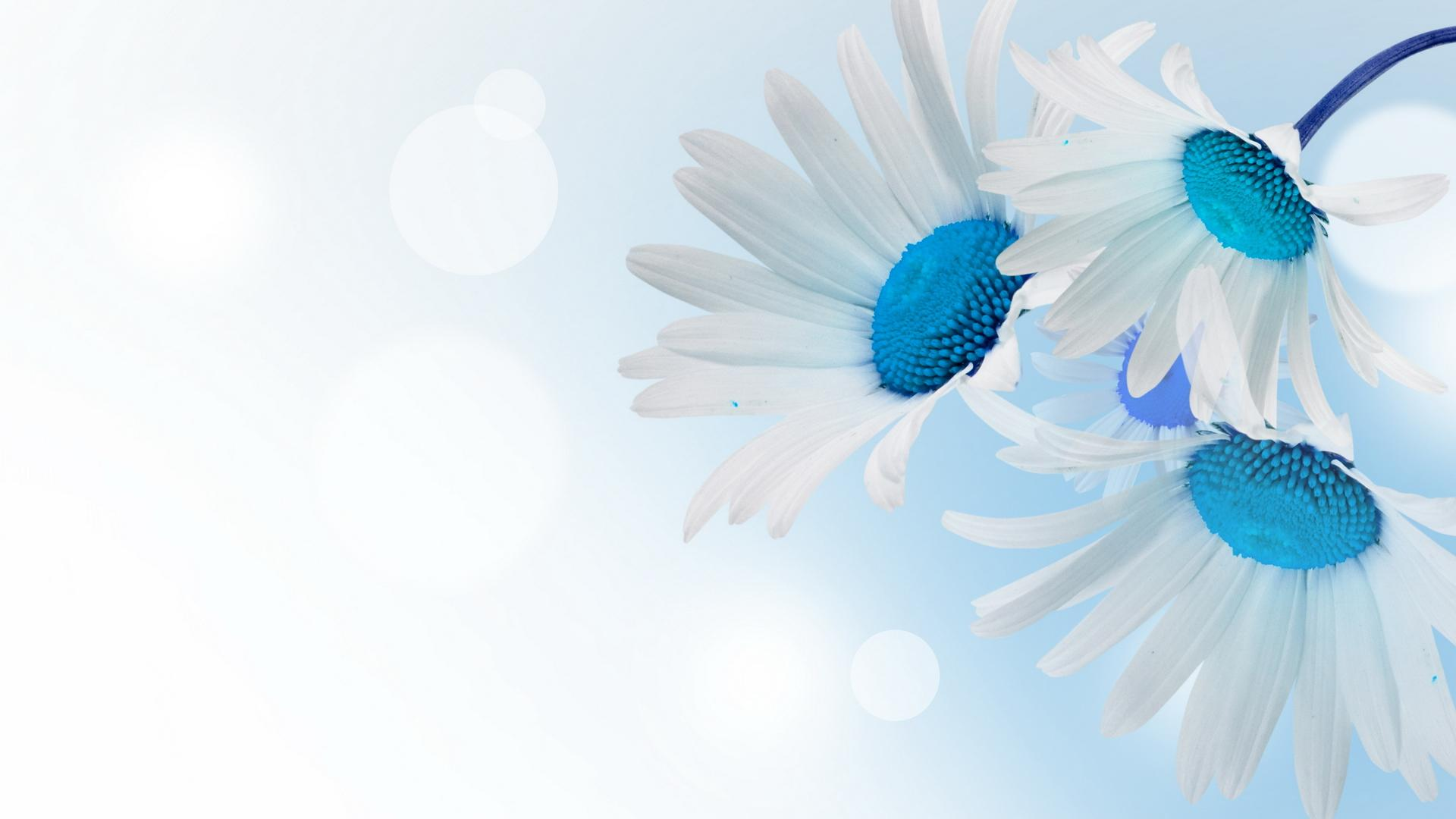White and Blue Daisies Full HD Wallpaper and Background ...