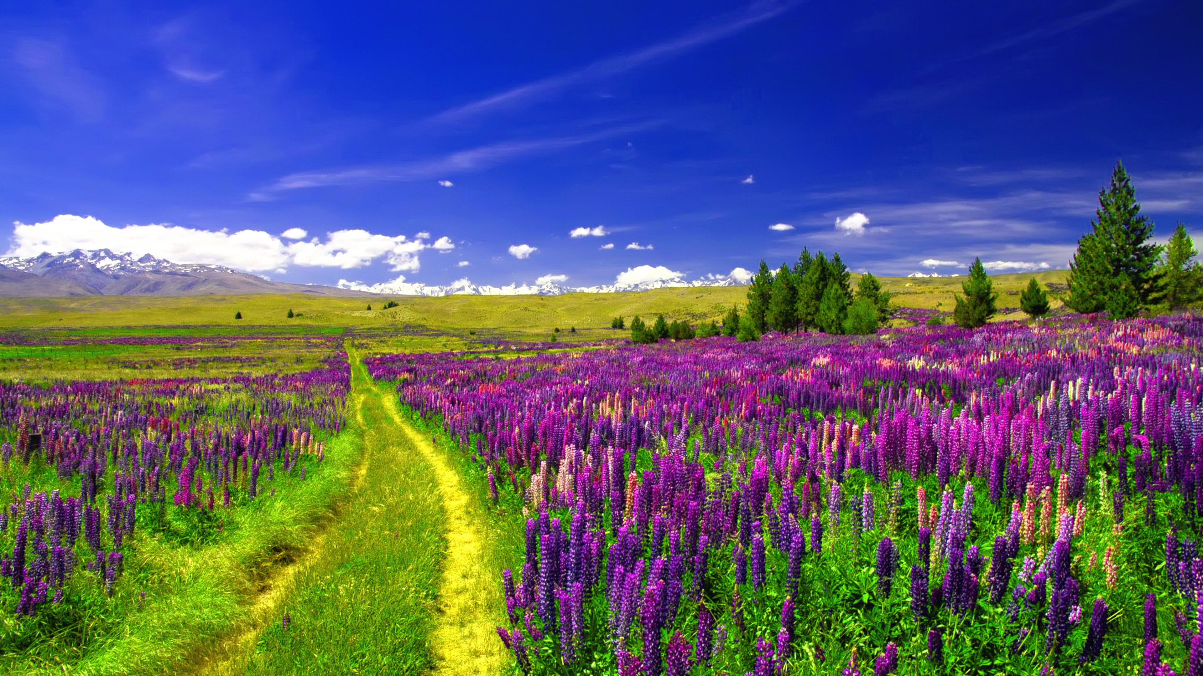 Path in Lupine Field k Ultra HD Wallpaper and Background