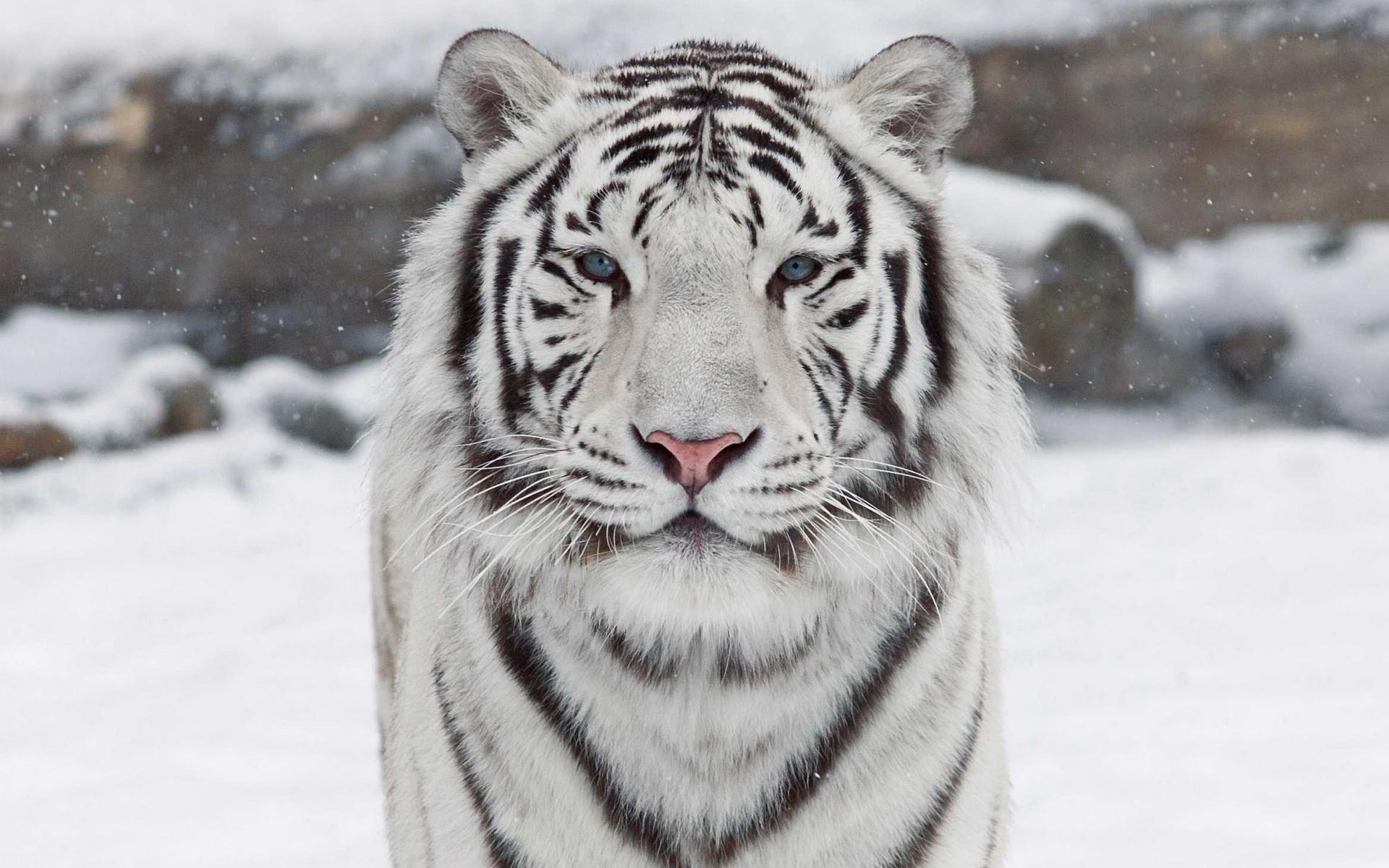Animal - White Tiger  Big Cat Tiger Predator (Animal) Close-up Wallpaper
