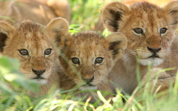 Animal Lion Cats Cub Baby Animal Big Cat HD Wallpaper   Background Image