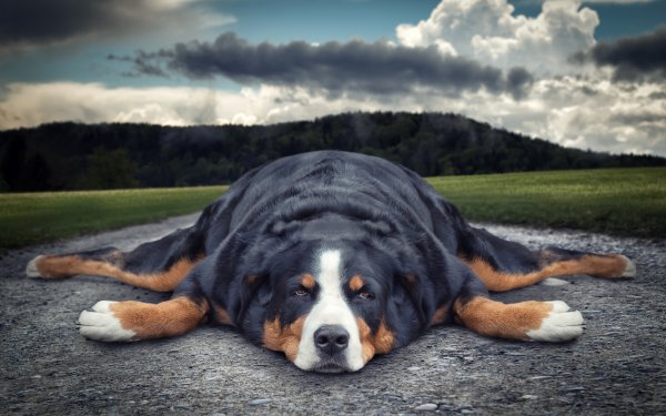 Animal Sennenhund Dogs Dog Funny Bernese Mountain Dog HD Wallpaper | Background Image