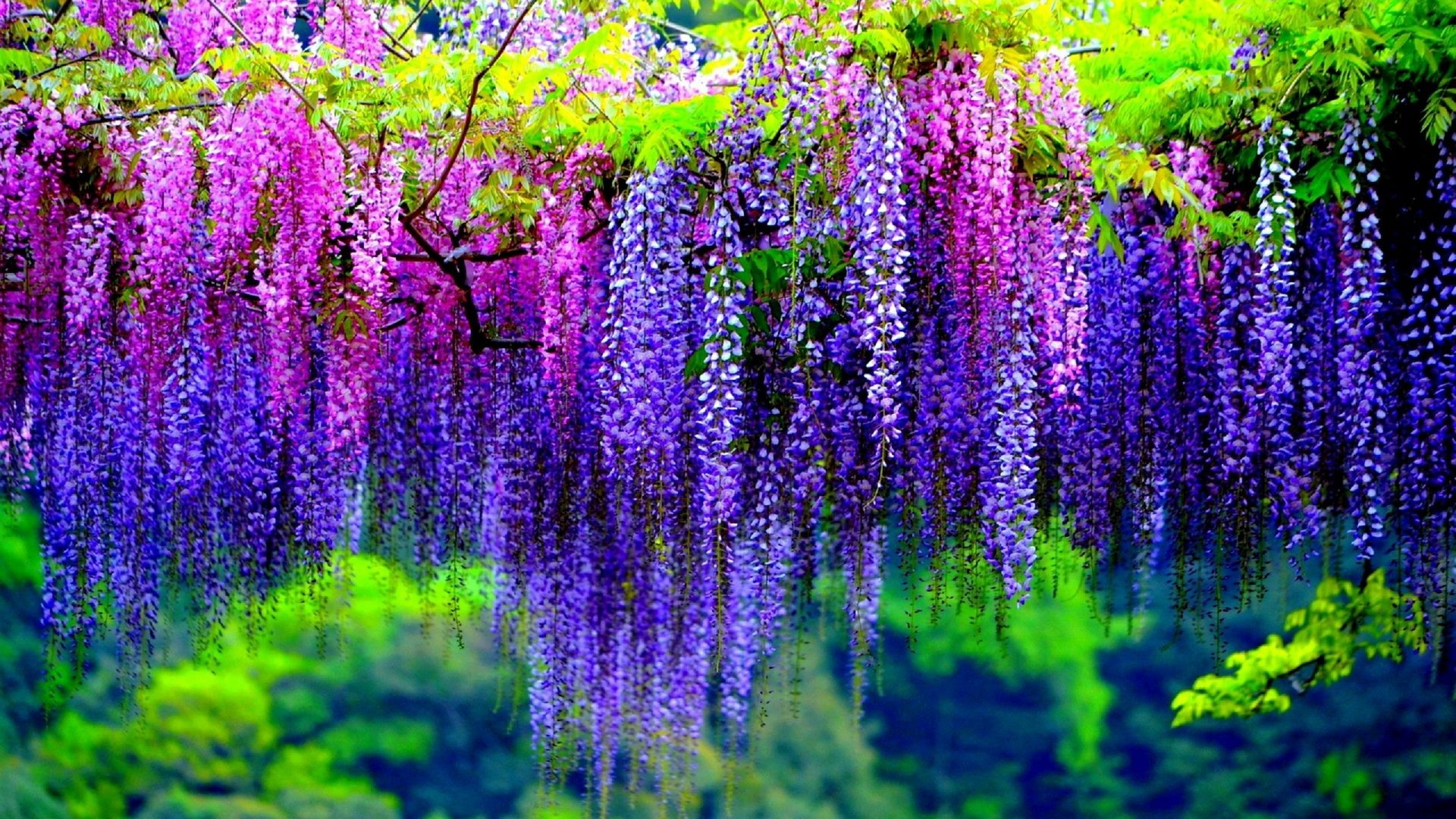 Wisteria tree full hd wallpaper and background image 1920x1080 earth wisteria earth blossom tree purple flower pink flower wallpaper voltagebd Image collections