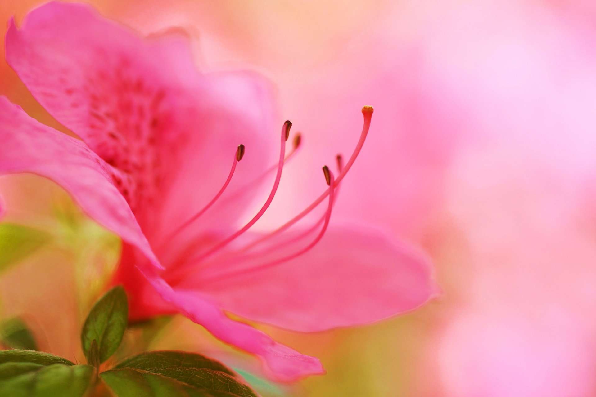 Earth - Azalea  Nature Flower Pink Flower Macro Wallpaper