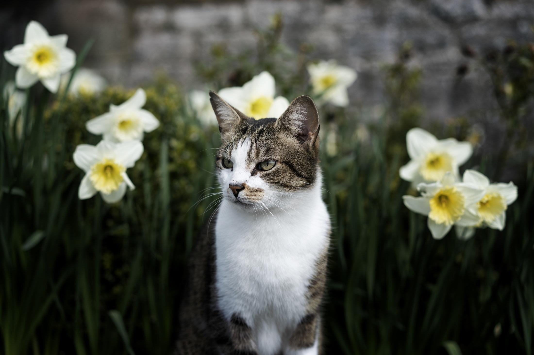 Daffodil Cat Meme