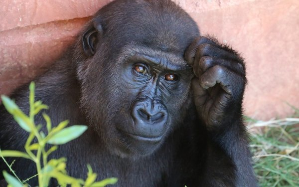 Animal Gorilla Monkeys Monkey Primate Ape HD Wallpaper | Background Image