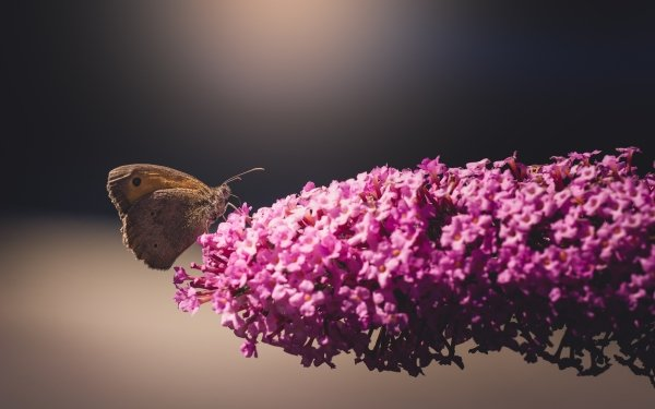 Animal Butterfly Insect Flower Pink Flower Nature HD Wallpaper   Background Image