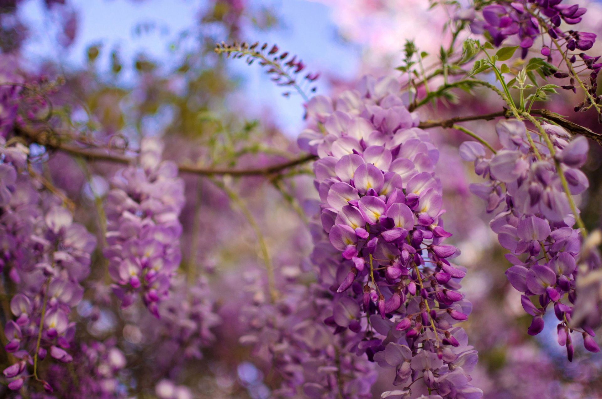 Wisteria Full Hd Wallpaper And Background Image