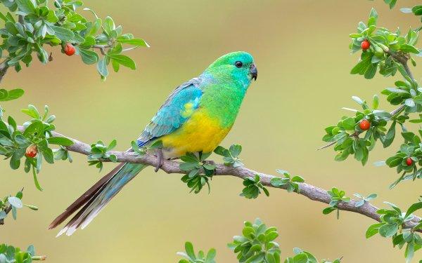 Animales Red-rumped Parrot Aves Loros Loro Rama Fondo de pantalla HD | Fondo de Escritorio