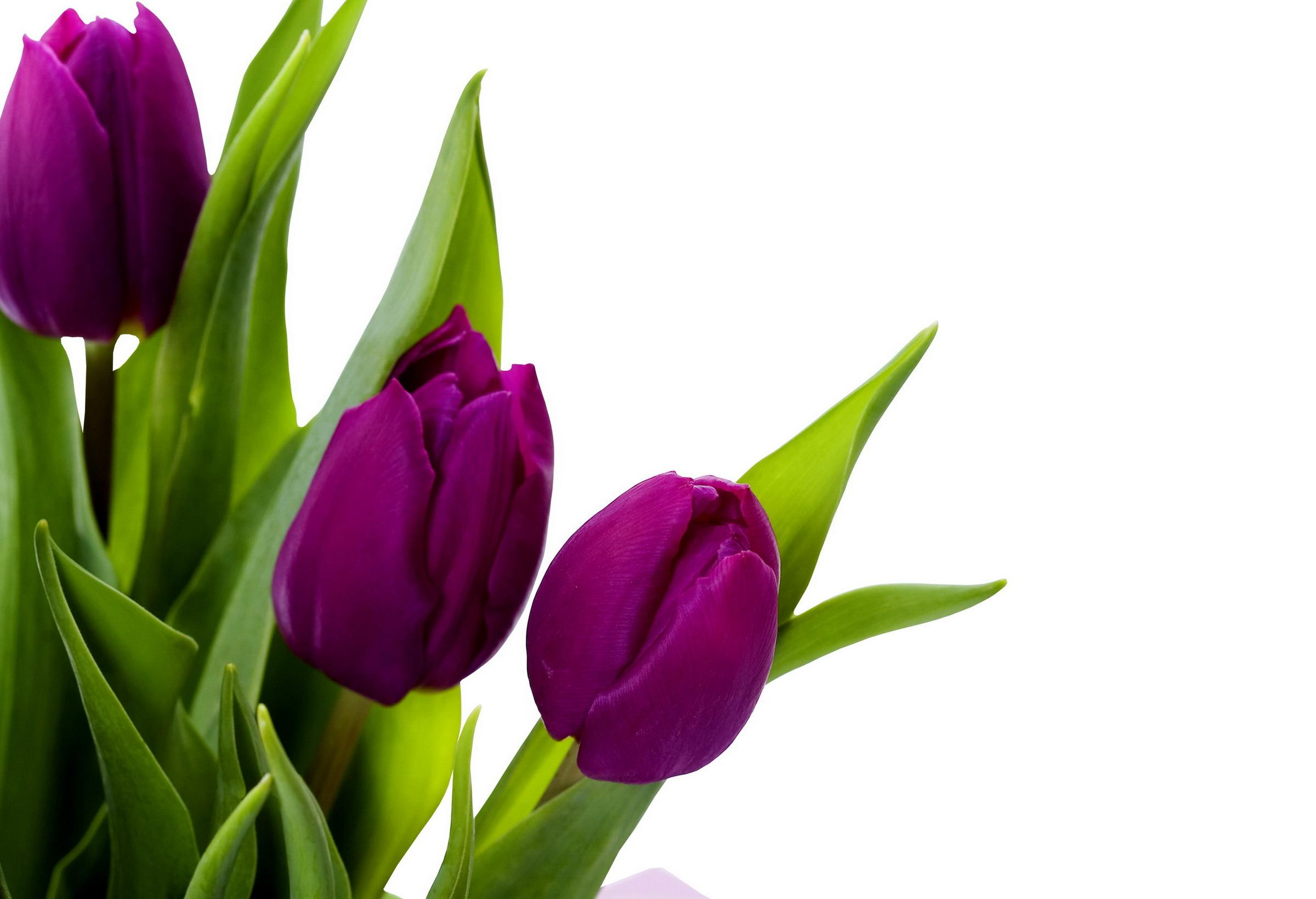 purple tulips hd wallpaper - photo #15
