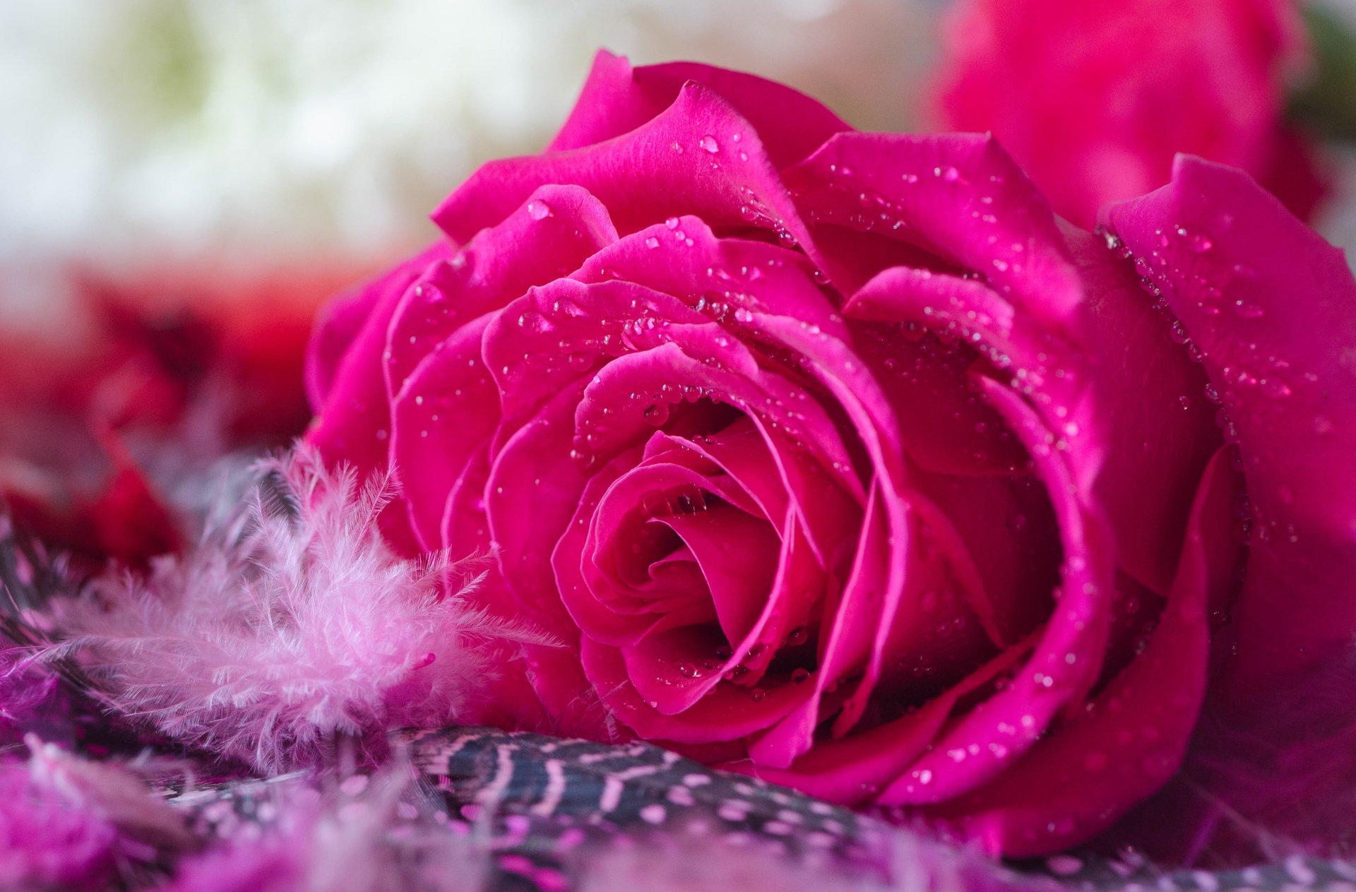 Hot pink rose 4k ultra hd wallpaper background image - Pink wallpaper 4k ...