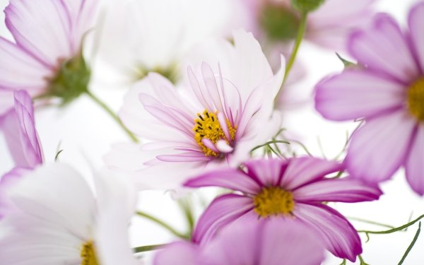 Earth Cosmos Flowers Flower Close-Up Pink Flower HD Wallpaper   Background Image