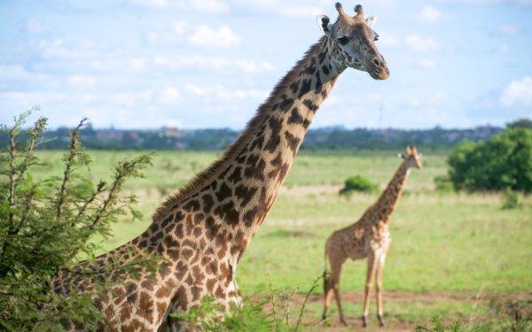 Animal Giraffe Mammal Wildlife Africa HD Wallpaper   Background Image
