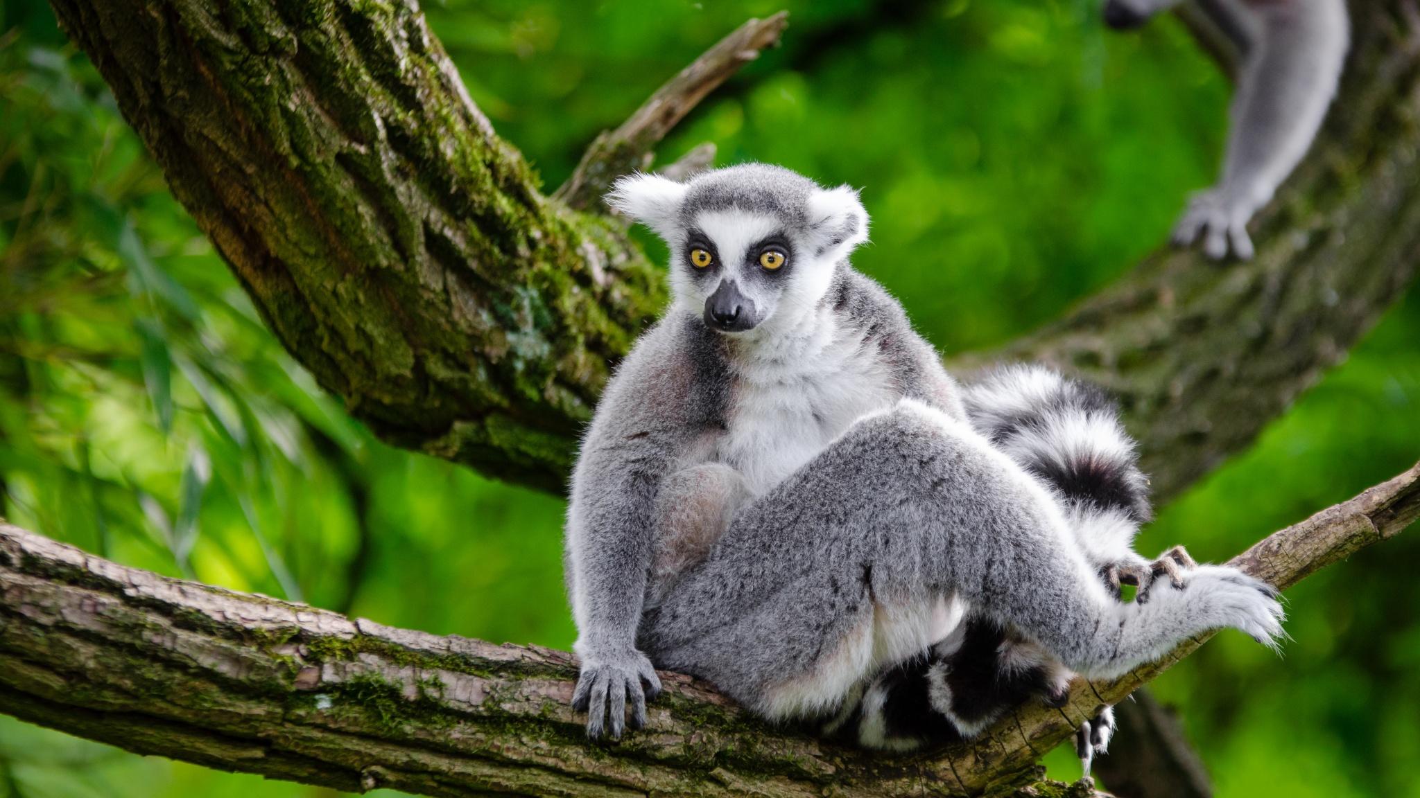ringtailed lemur full hd fond d233cran and arri232replan