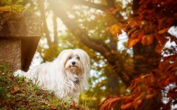 Animal Maltese Dogs Dog Bokeh Sunny HD Wallpaper   Background Image