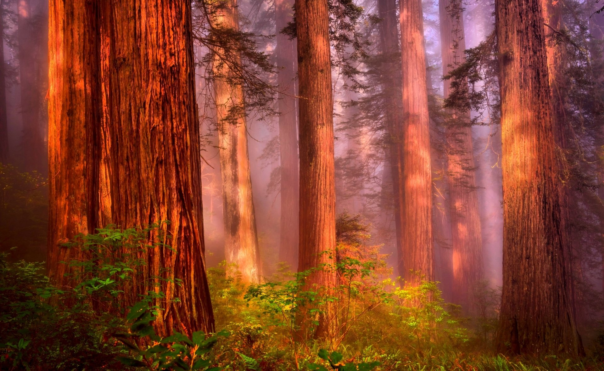 Misty Redwood Forest Hd Wallpaper Background Image
