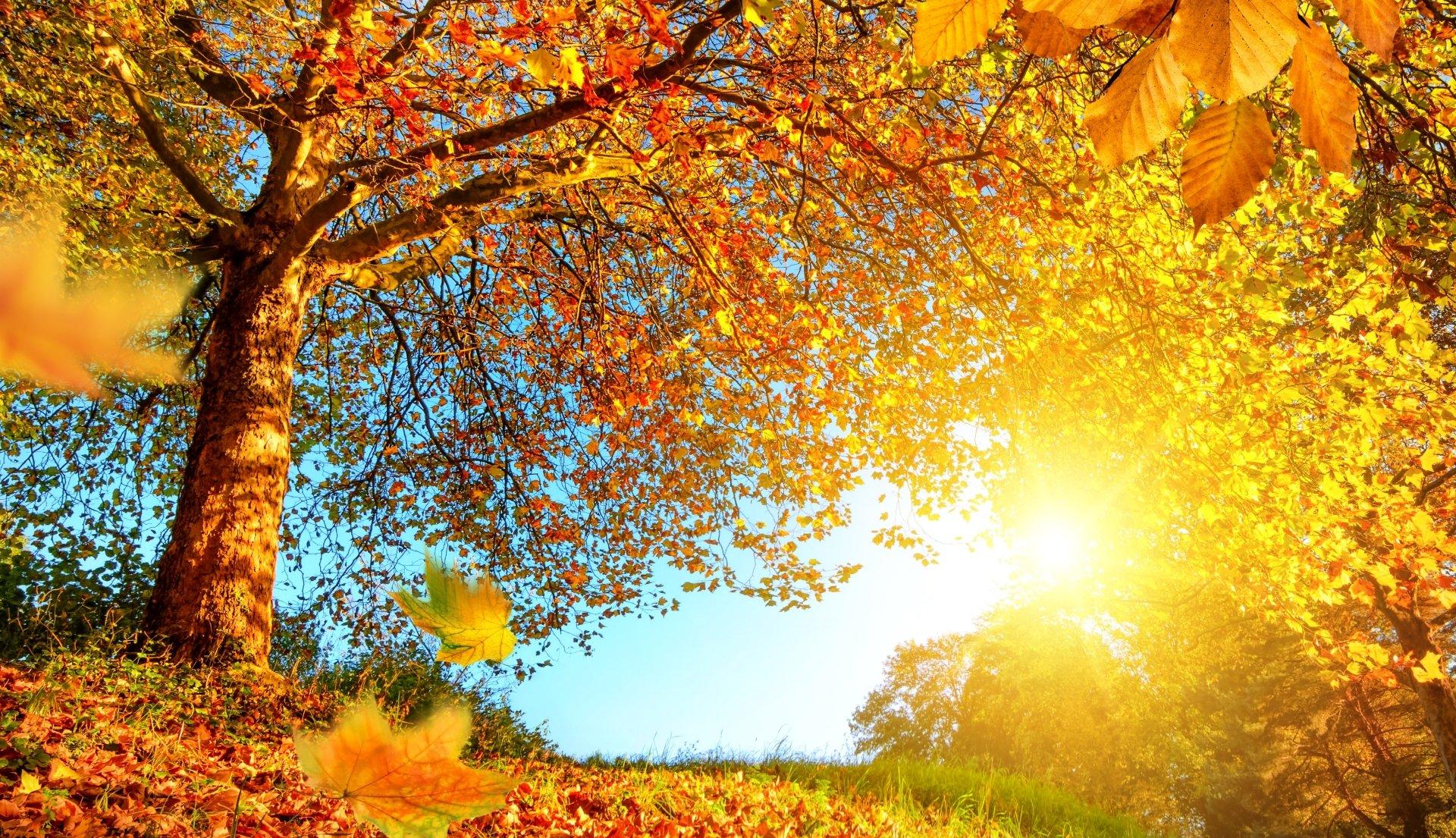 Earth - Fall  Nature Tree Leaf Sunny Foliage Wallpaper