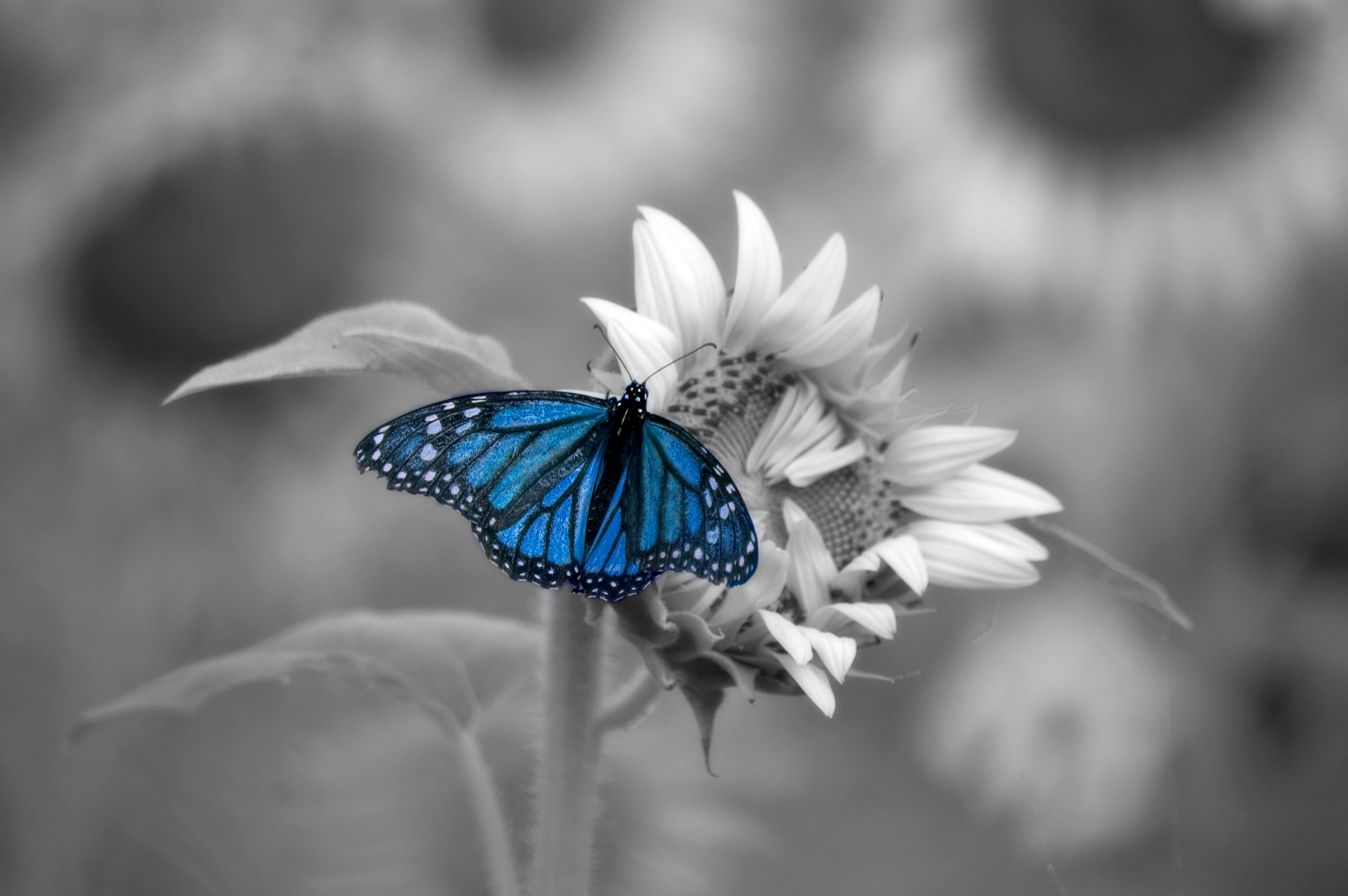 blue butterfly 5k retina ultra hd wallpaper and hintergrund 6016x4000 id 771616. Black Bedroom Furniture Sets. Home Design Ideas
