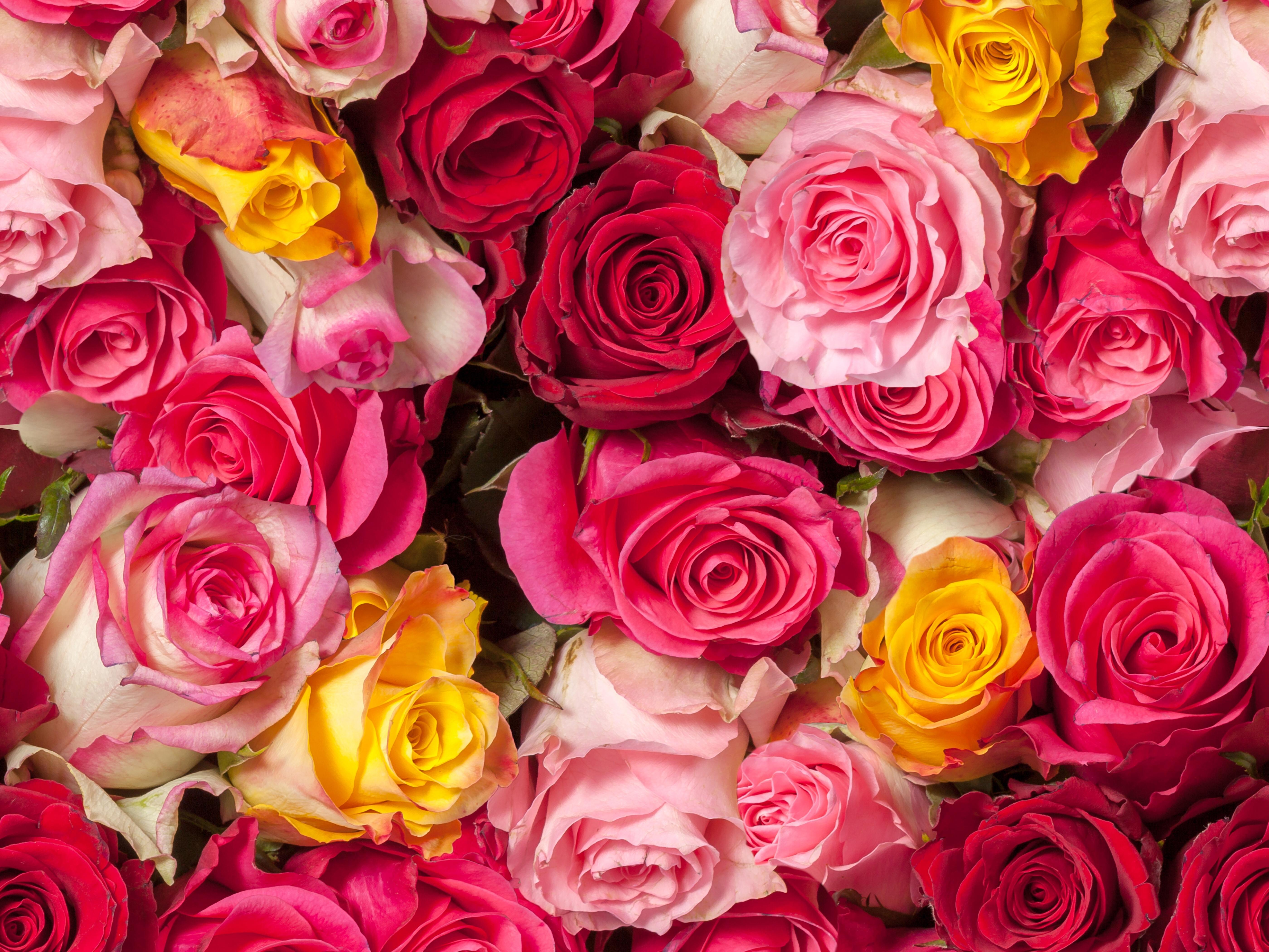 Roses 5k retina ultra hd wallpaper background image - Big rose flower wallpaper ...