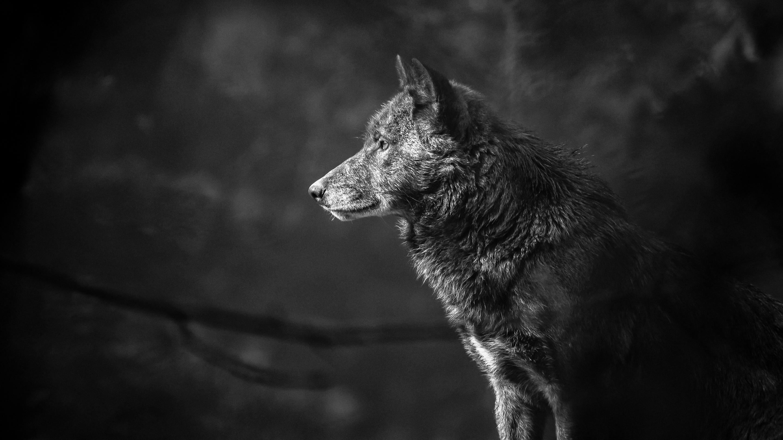 Loup Fond d'écran HD | Arrière-Plan | 2880x1620 | ID:774255 - Wallpaper Abyss