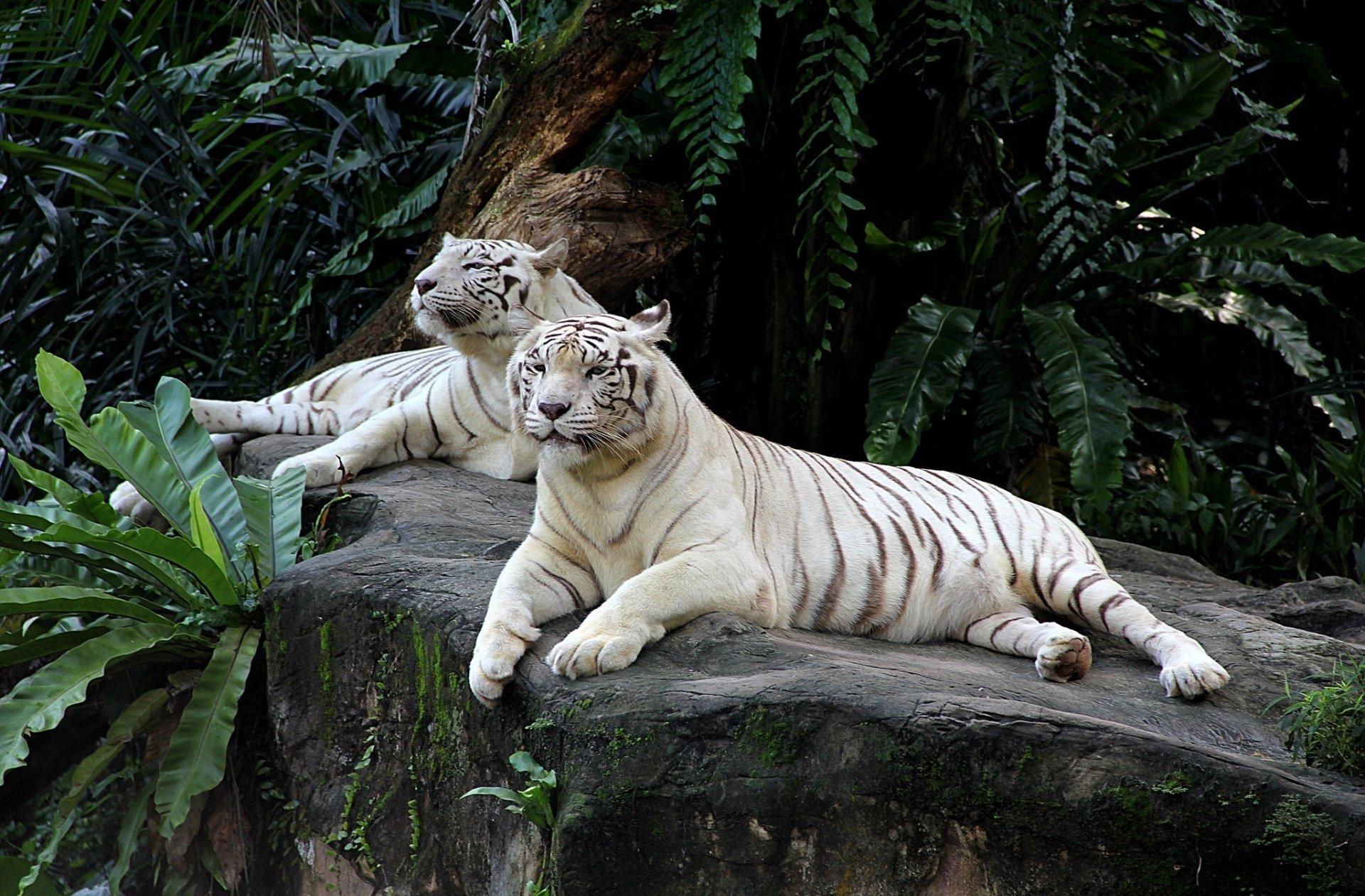 Tigre Blanc Fond d'écran HD | Arrière-Plan | 2048x1345 | ID:775000 - Wallpaper Abyss