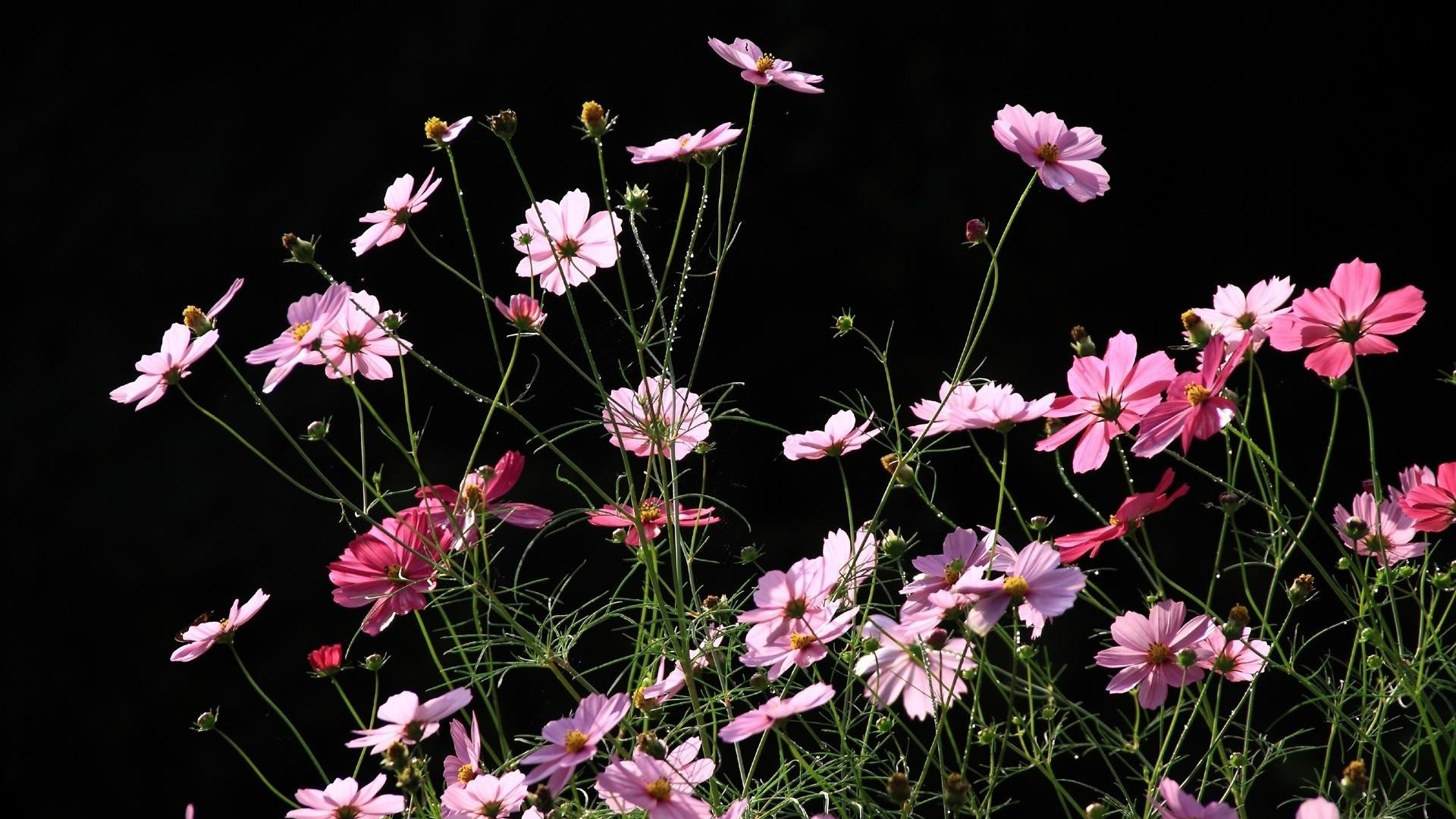 pink cosmos hd wallpaper background image 1920x1080 id 783858