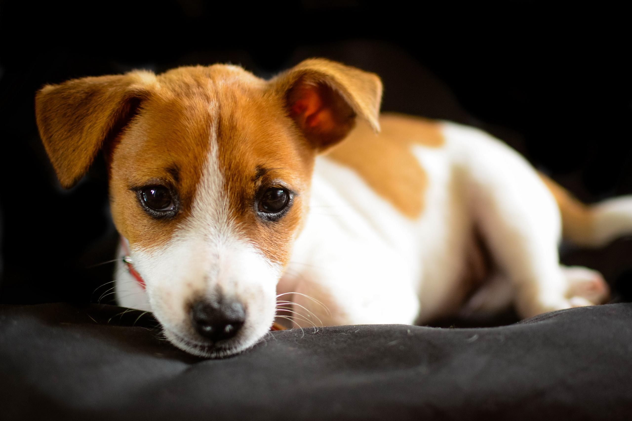 Bardzo dobra Jack Russell Terrier Tapeta HD | Tło | 2560x1707 | ID:785193 LR86