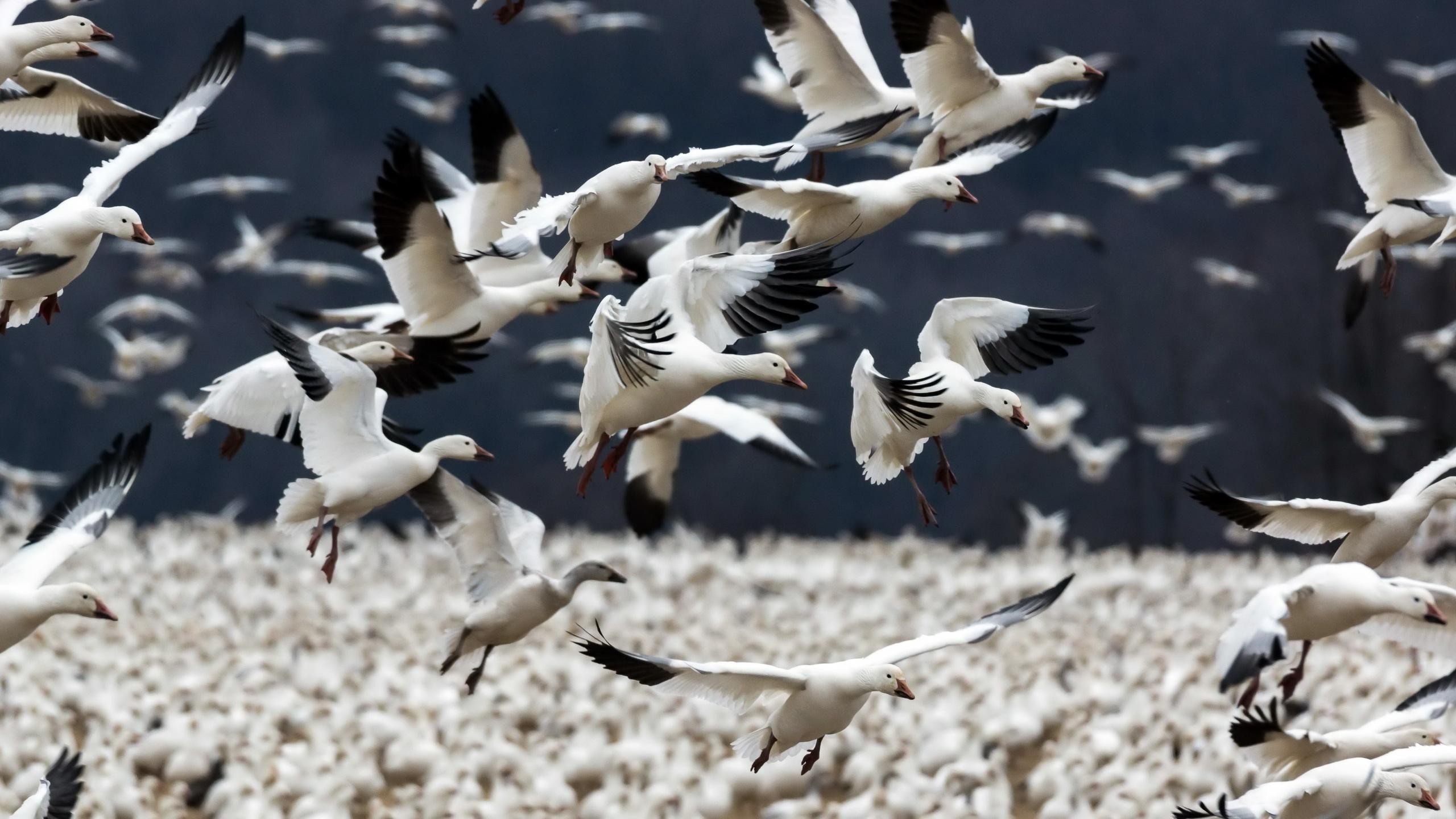 Goose HD Wallpaper