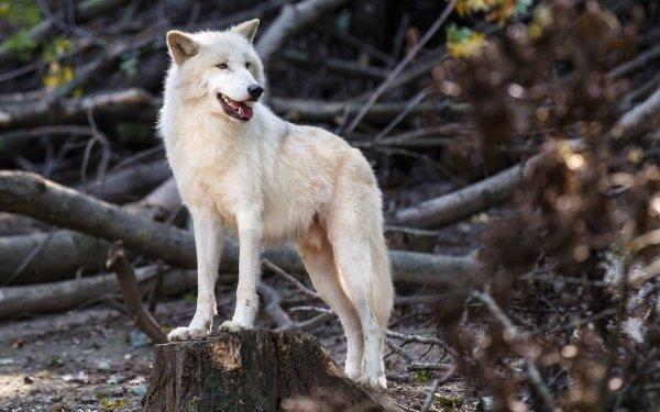 Animal Wolf predator White Wolf Wildlife HD Wallpaper   Background Image