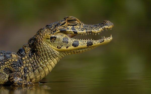 Animal Caiman Reptile Wildlife HD Wallpaper | Background Image