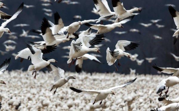 Animal Goose Birds Geese Bird Flock Of Birds HD Wallpaper | Background Image