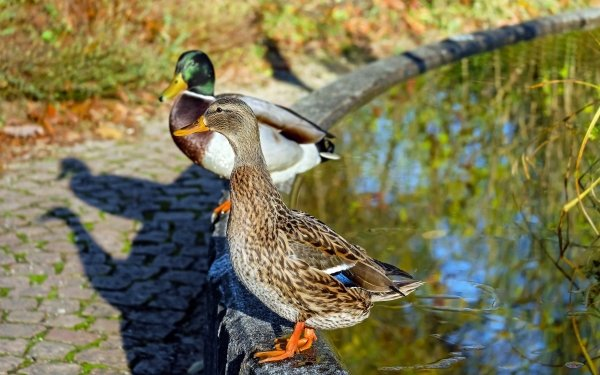 Animal Mallard Birds Ducks Duck Bird Sunny Close-Up HD Wallpaper   Background Image