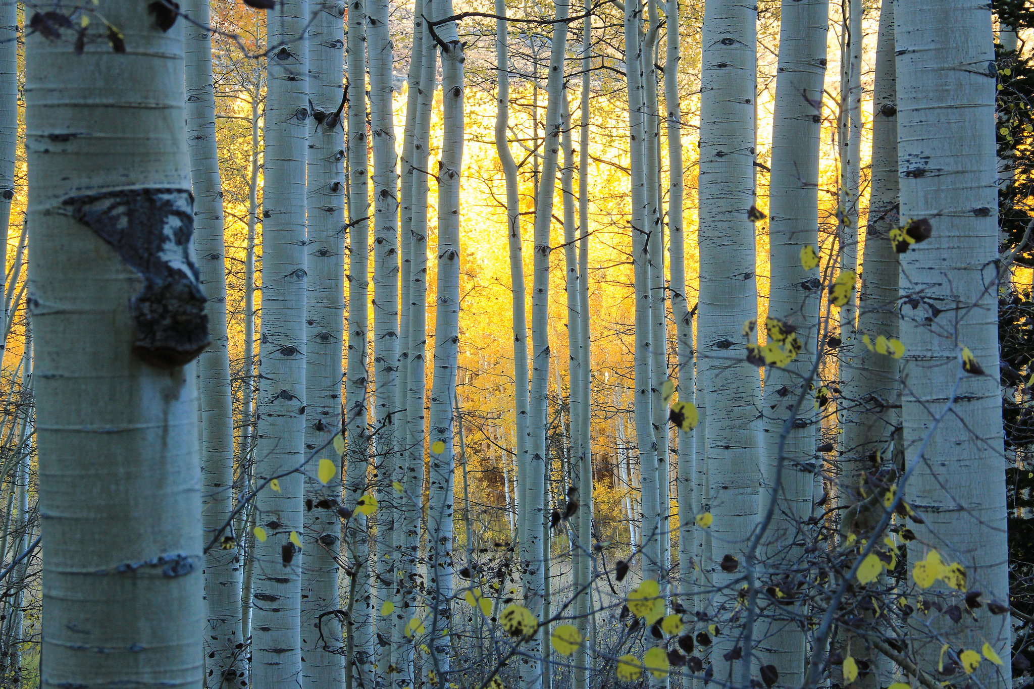 Birch Trees In Colorado Full Hd Wallpaper And Background