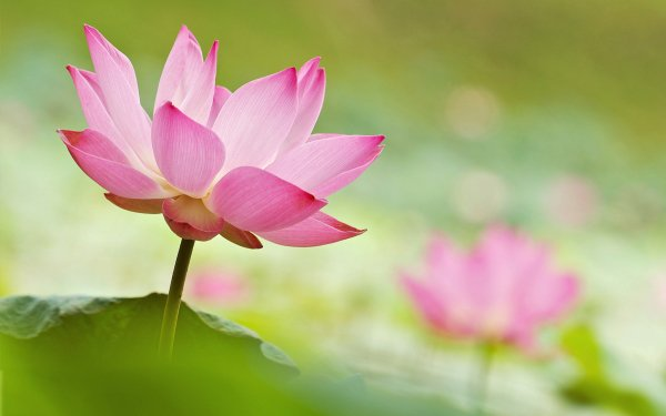 Earth Lotus Flowers Water Lily Close-Up Flower Pink Flower Blur HD Wallpaper | Background Image