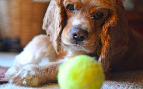 Animal Cocker Spaniel Dogs Dog Face Tennis Ball Muzzle HD Wallpaper   Background Image
