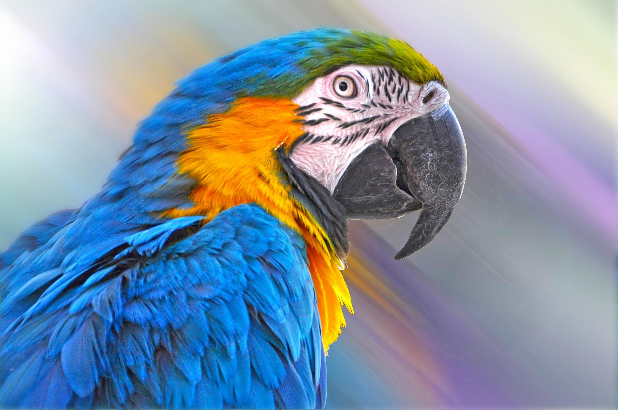Обои птицa, Сине-жёлтый ара, Попугай. Животные foto 12