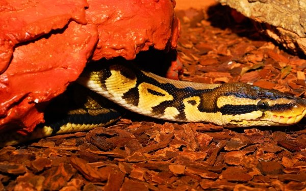 Animal Python Reptiles Snakes Ball Python Snake HD Wallpaper | Background Image