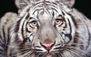 Animal - White Tiger Wallpapers and Backgrounds ID : 80093