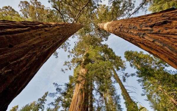 Earth Tree Trees Sequoia Treetops HD Wallpaper   Background Image