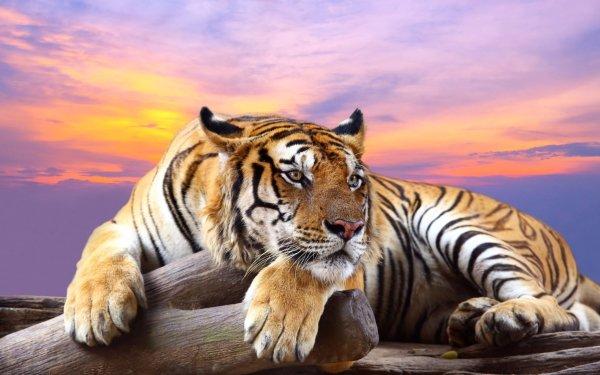 Animal Tiger Cats Resting Sunset predator HD Wallpaper | Background Image